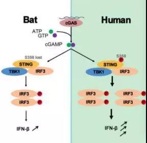 武汉病毒研究所发现为何蝙蝠带有多种病毒却不生病